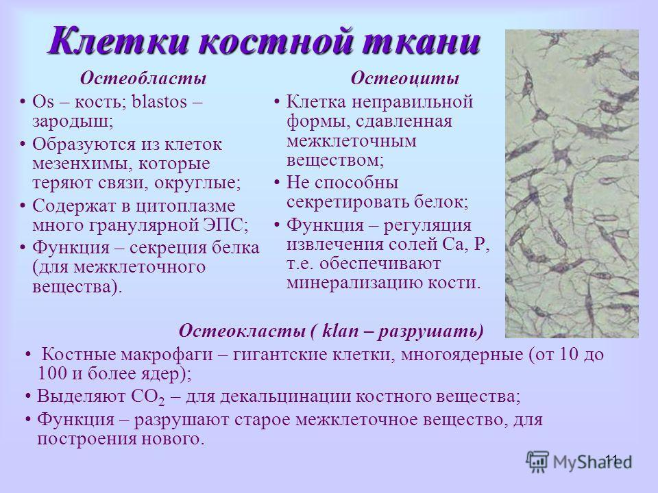 11 Клетки костной ткани Остеобласты Os – кость; blastоs – зародыш; Образуются из клеток мезенхимы, которые теряют связи, округлые; Содержат в цитоплазме много гранулярной ЭПС; Функция – секреция белка (для межклеточного вещества). Остеоциты Клетка не