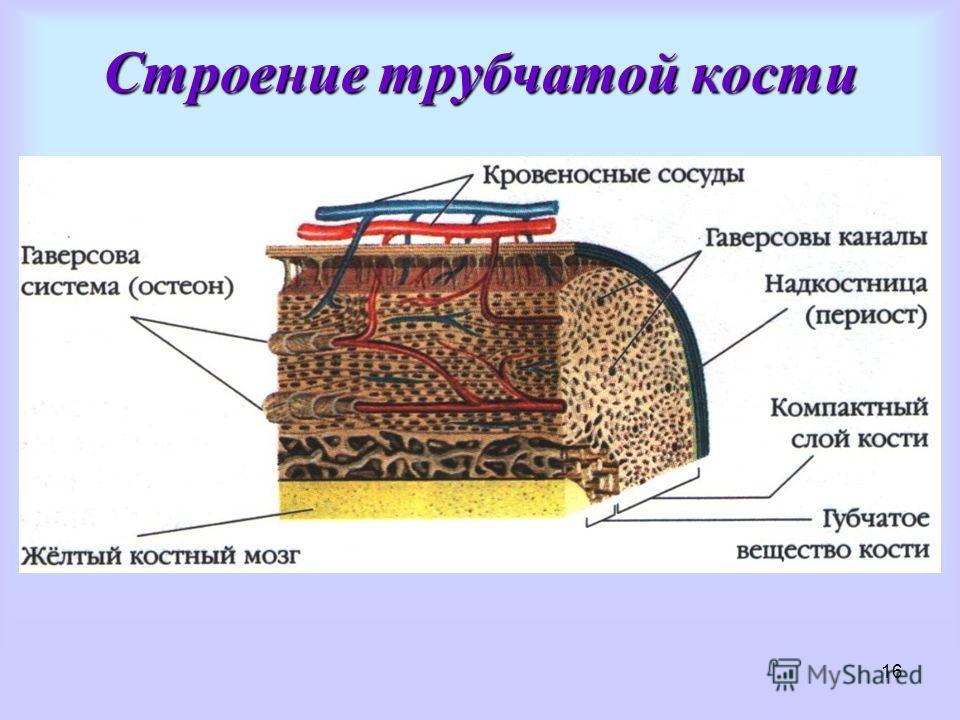 16 Строение трубчатой кости
