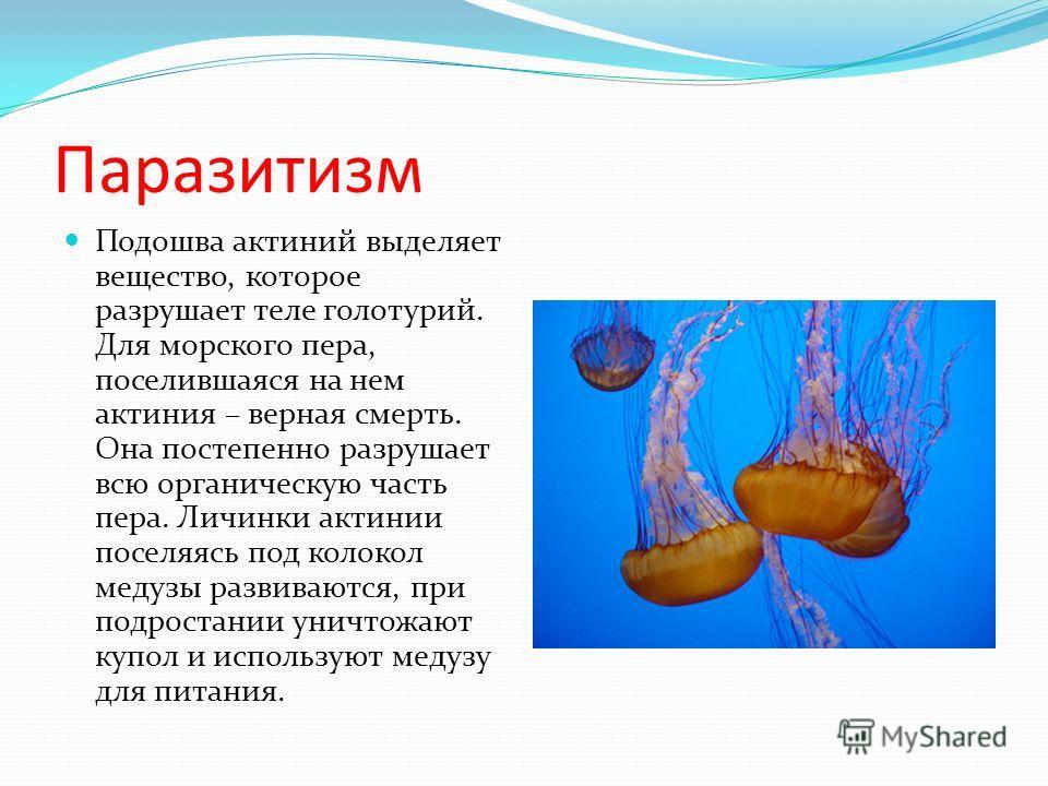 Паразитизм Подошва актиний выделяет вещество, которое разрушает теле голотурий. Для морского пера, поселившаяся на нем актиния – верная смерть. Она постепенно разрушает всю органическую часть пера. Личинки актинии поселяясь под колокол медузы развива