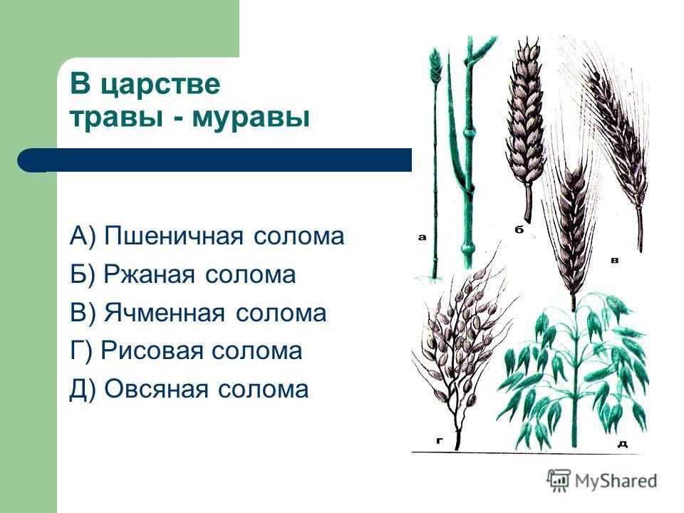 В царстве травы - муравы А) Пшеничная солома Б) Ржаная солома В) Ячменная солома Г) Рисовая солома Д) Овсяная солома