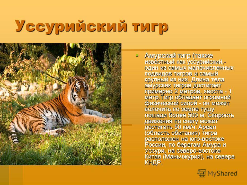 Уссурийский тигр Амурский тигр (также известный как уссурийский,- один из самых малочисленных подвидов тигров и самый крупный из них. Длина тела амурских тигров достигает примерно 2 метров, хвоста - 1 метр.Тигр обладает огромной физической силой - он