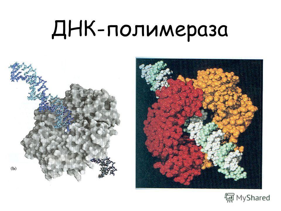 ДНК-полимераза