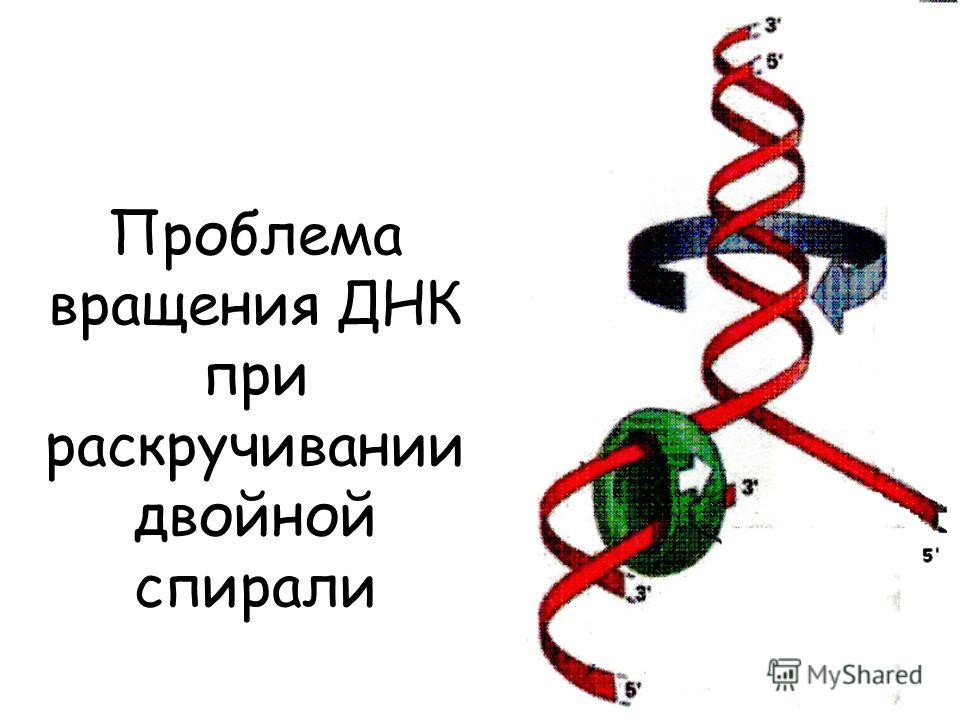 Проблема вращения ДНК при раскручивании двойной спирали