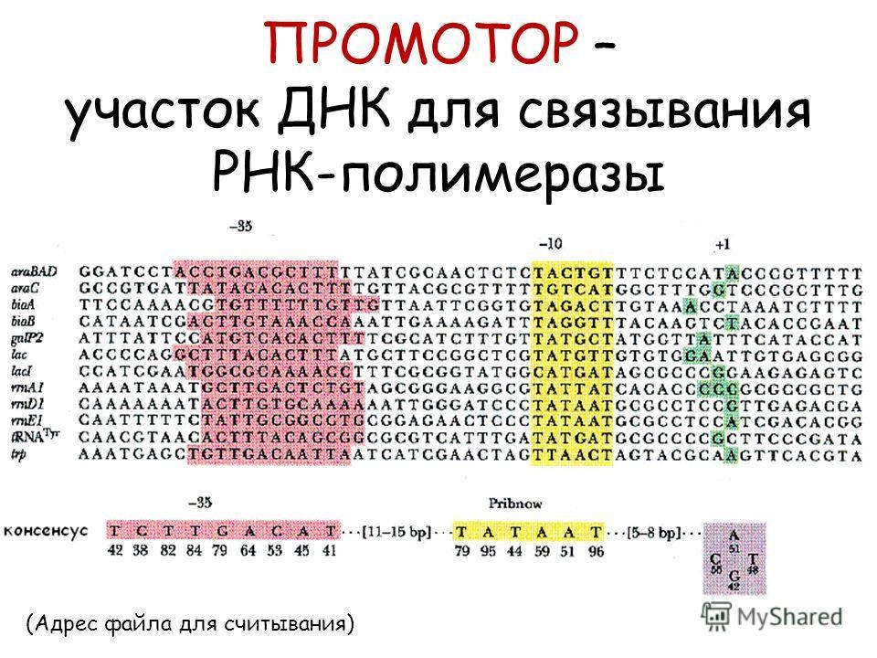 ПРОМОТОР – участок ДНК для связывания РНК-полимеразы (Адрес файла для считывания)