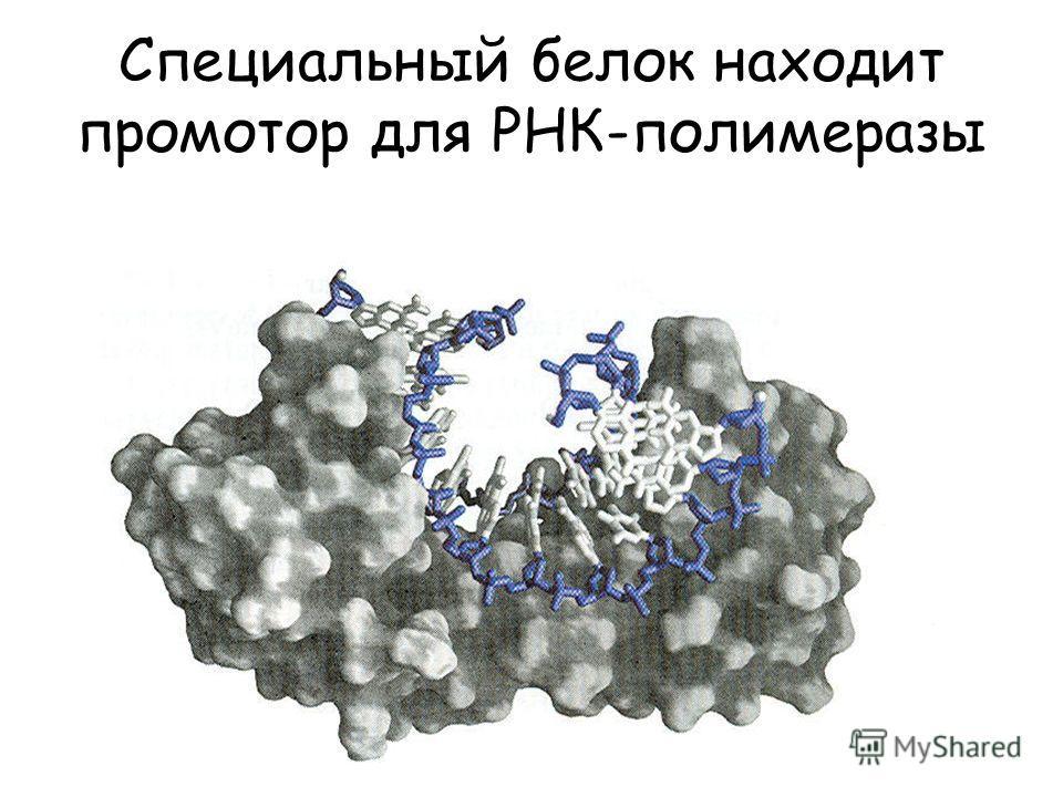 Специальный белок находит промотор для РНК-полимеразы