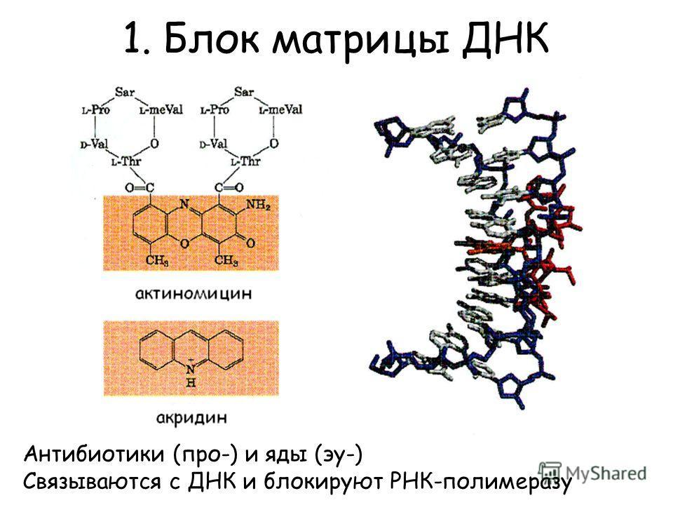 1. Блок матрицы ДНК Антибиотики (про-) и яды (эу-) Связываются с ДНК и блокируют РНК-полимеразу