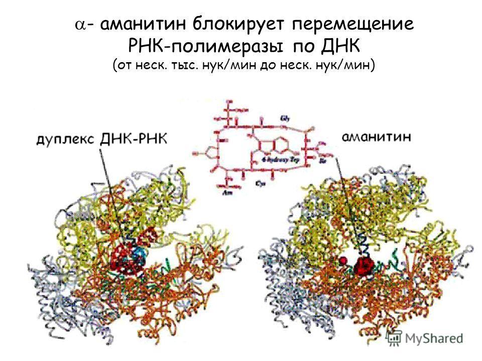 - аманитин блокирует перемещение РНК-полимеразы по ДНК (от неск. тыс. нук/мин до неск. нук/мин)