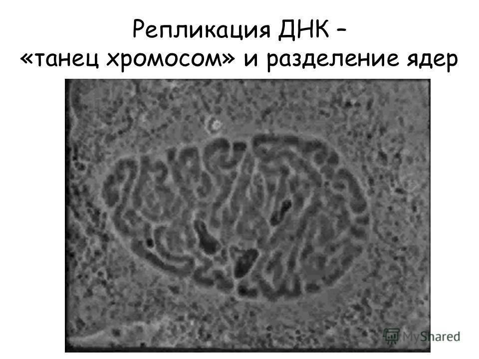Репликация ДНК – «танец хромосом» и разделение ядер
