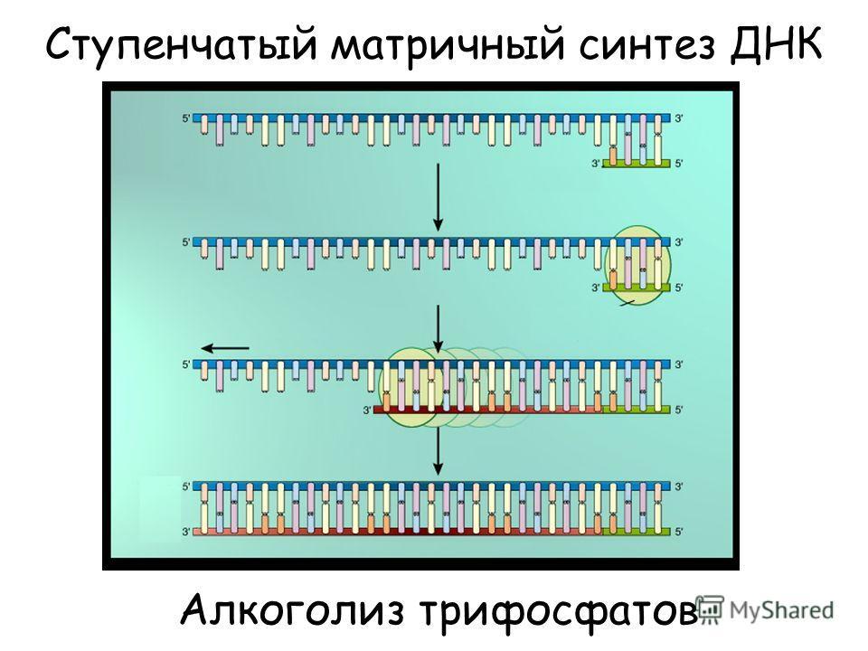 Ступенчатый матричный синтез ДНК Алкоголиз трифосфатов