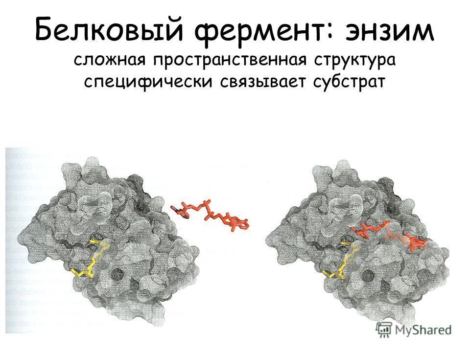 Белковый фермент: энзим сложная пространственная структура специфически связывает субстрат