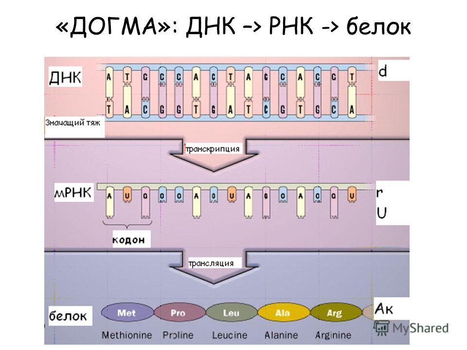 «ДОГМА»: ДНК –> РНК -> белок