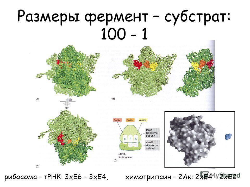 Размеры фермент – субстрат: 100 - 1 рибосома – тРНК: 3хЕ6 – 3хЕ4, химотрипсин – 2Ак: 2хЕ4 – 2хЕ2