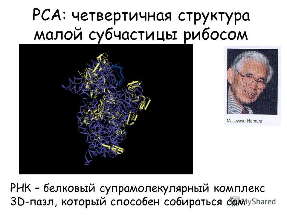 РСА: четвертичная структура малой субчастицы рибосом РНК – белковый супрамолекулярный комплекс 3D-пазл, который способен собираться сам