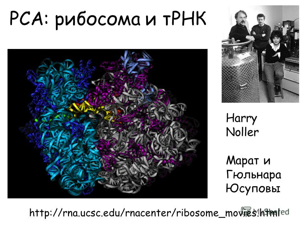 РСА: рибосома и тРНК http://rna.ucsc.edu/rnacenter/ribosome_movies.html Harry Noller Марат и Гюльнара Юсуповы