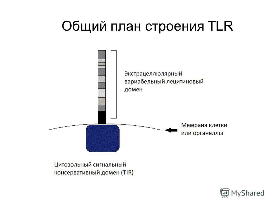 Общий план строения TLR