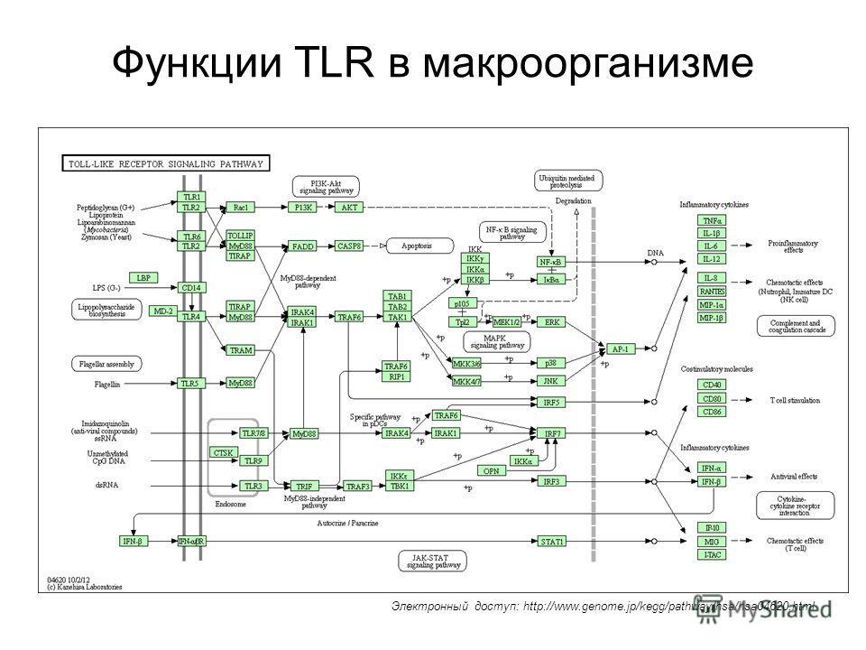 Функции TLR в макроорганизме Электронный доступ: http://www.genome.jp/kegg/pathway/hsa/hsa04620.html