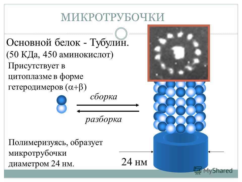 24 нм МИКРОТРУБОЧКИ Основной белок - Тубулин. (50 КДа, 450 аминокислот) сборка разборка Присутствует в цитоплазме в форме гетеродимеров ( ) Полимеризуясь, образует микротрубочки диаметром 24 нм.