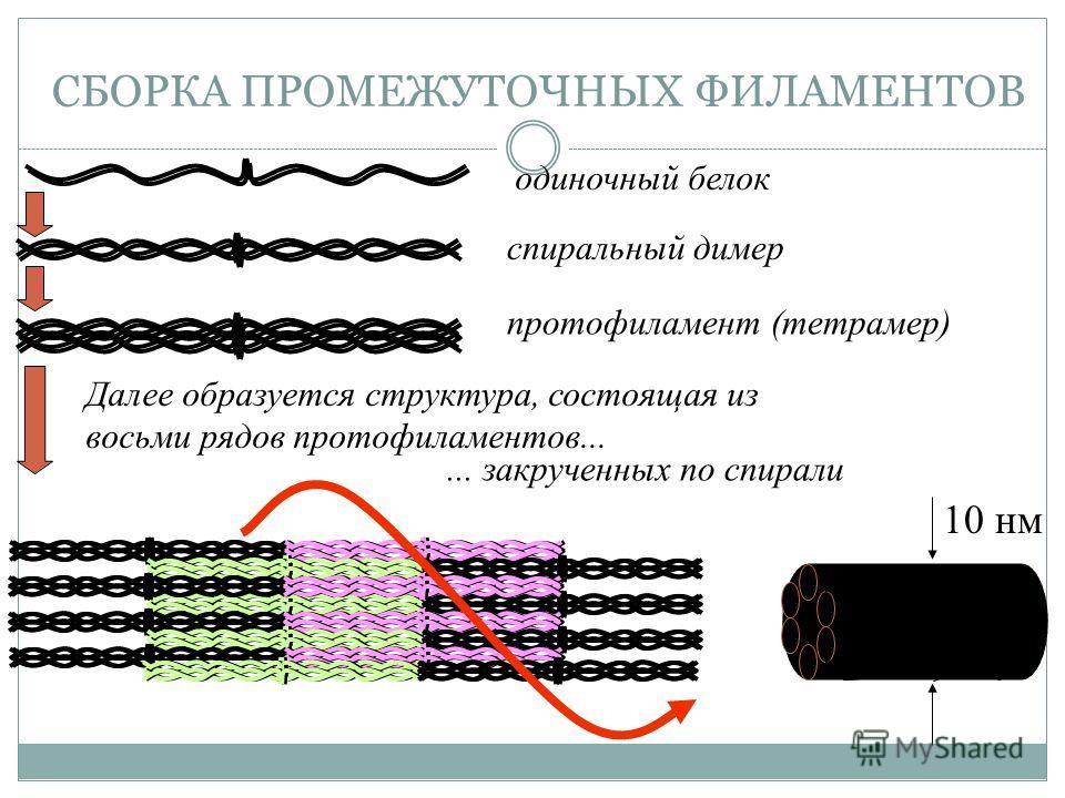 СБОРКА ПРОМЕЖУТОЧНЫХ ФИЛАМЕНТОВ одиночный белок спиральный димерпротофиламент (тетрамер) Далее образуется структура, состоящая из восьми рядов протофиламентов...... закрученных по спирали 10 нм