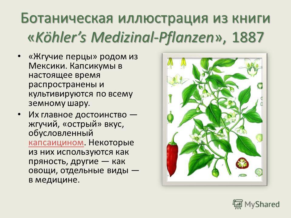 Ботаническая иллюстрация из книги «Köhlers Medizinal-Pflanzen», 1887 «Жгучие перцы» родом из Мексики. Капсикумы в настоящее время распространены и культивируются по всему земному шару. Их главное достоинство жгучий, «острый» вкус, обусловленный капса