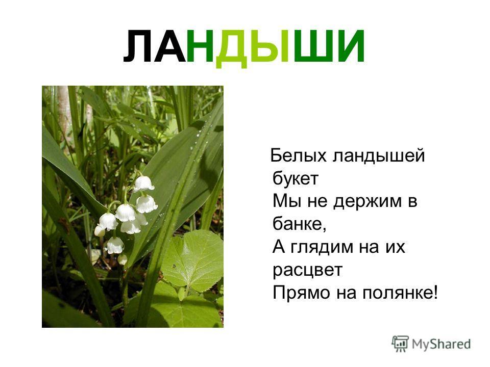 ЛАНДЫШИ Белых ландышей букет Мы не держим в банке, А глядим на их расцвет Прямо на полянке!