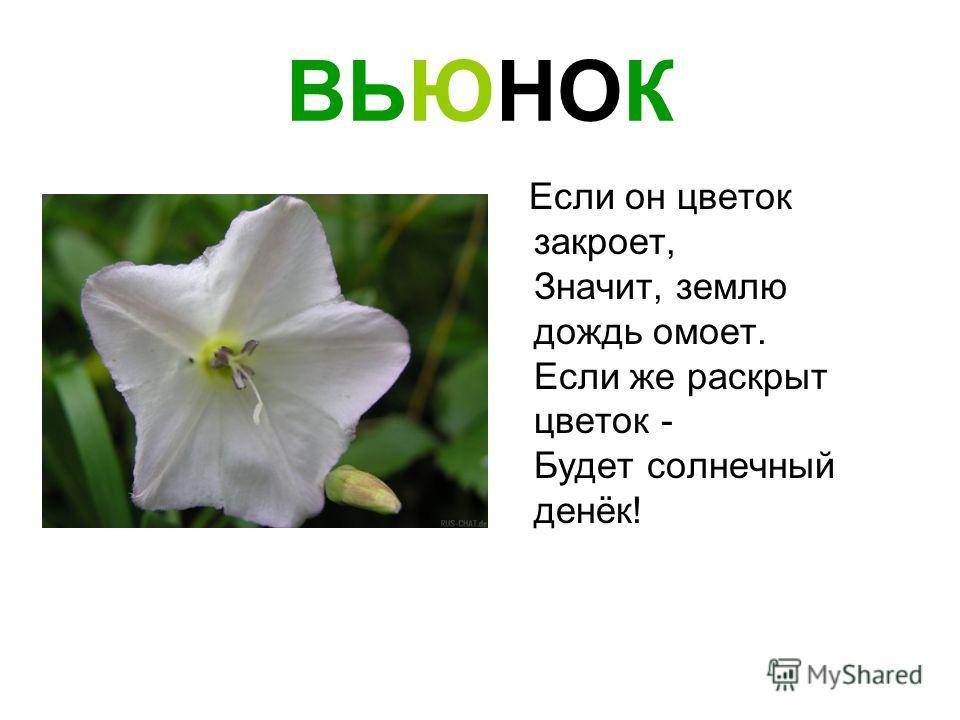 ВЬЮНОК Если он цветок закроет, Значит, землю дождь омоет. Если же раскрыт цветок - Будет солнечный денёк!
