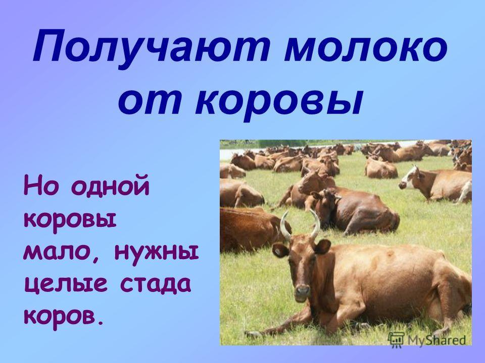 Получают молоко от коровы Но одной коровы мало, нужны целые стада коров.