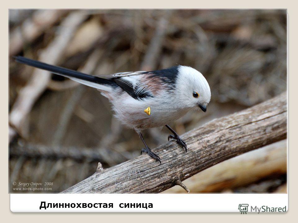 Хохлатые синицы в период гнездования приносят еду своим птенцам с частотой до 60 раз в час; Интересные факты из жизни синиц