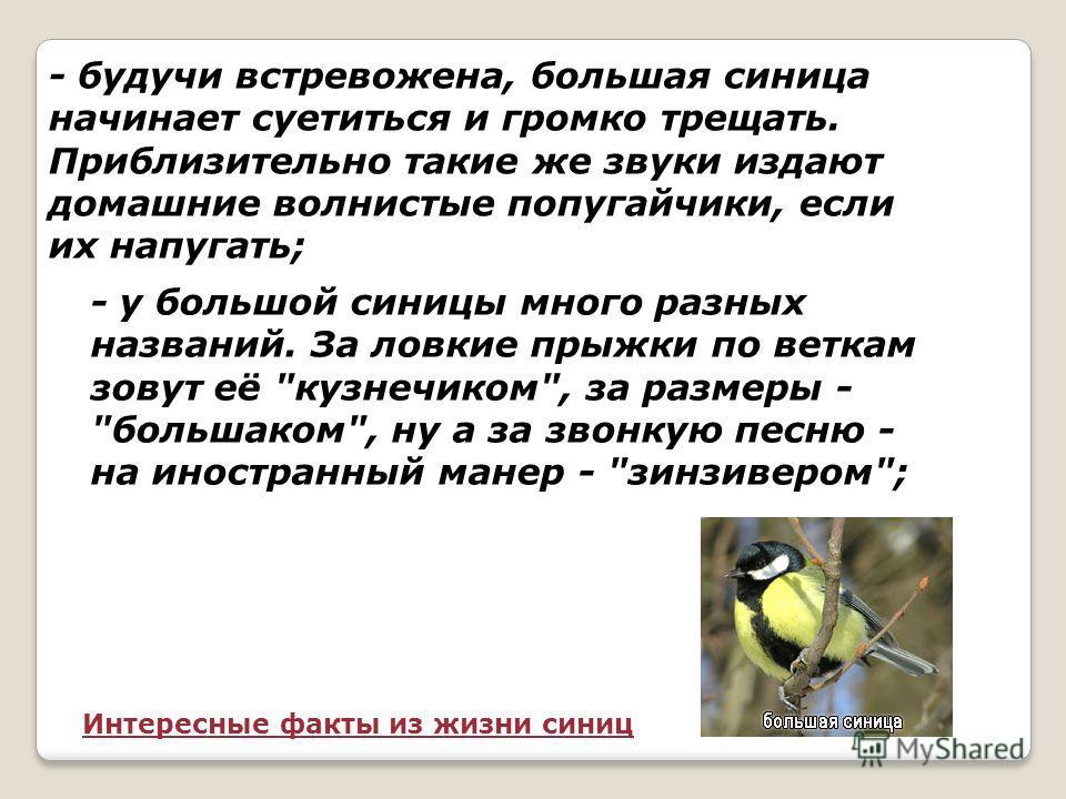 Синица большая Птица синица летает проворно В желтенькой кофточке, В шапочке черной. Плащик зелененький носит синица Черненький галстук на грудке у птицы.