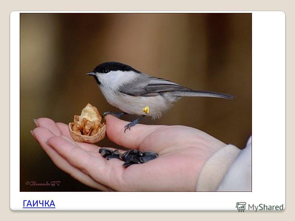 - в лесах Подмосковья синицы, наряду с дятлами, первыми среди певчих птиц заводят трели по весне. Призывно петь самцы начинают ещё задолго до того, как возвращаются первые перелётные птицы; Интересные факты из жизни синиц