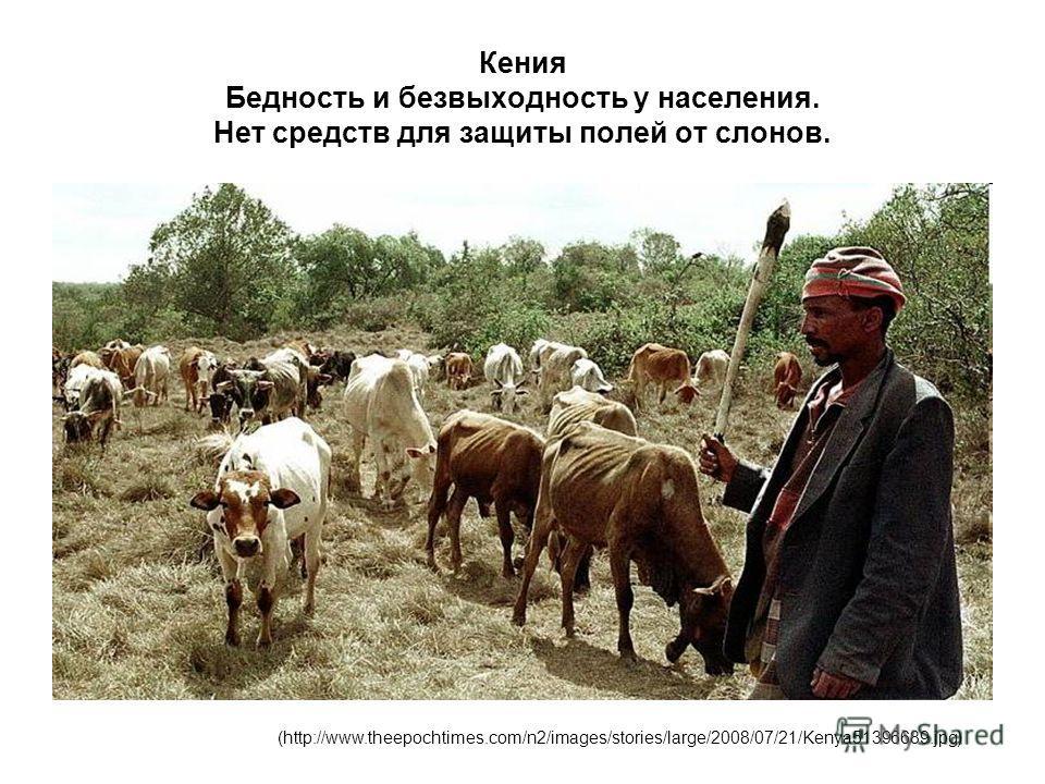 Кения Бедность и безвыходность у населения. Нет средств для защиты полей от слонов. (http://www.theepochtimes.com/n2/images/stories/large/2008/07/21/Kenya51396689.jpg)