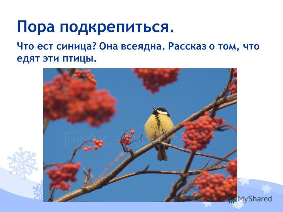 Что ест синица? Она всеядна. Рассказ о том, что едят эти птицы. Пора подкрепиться.