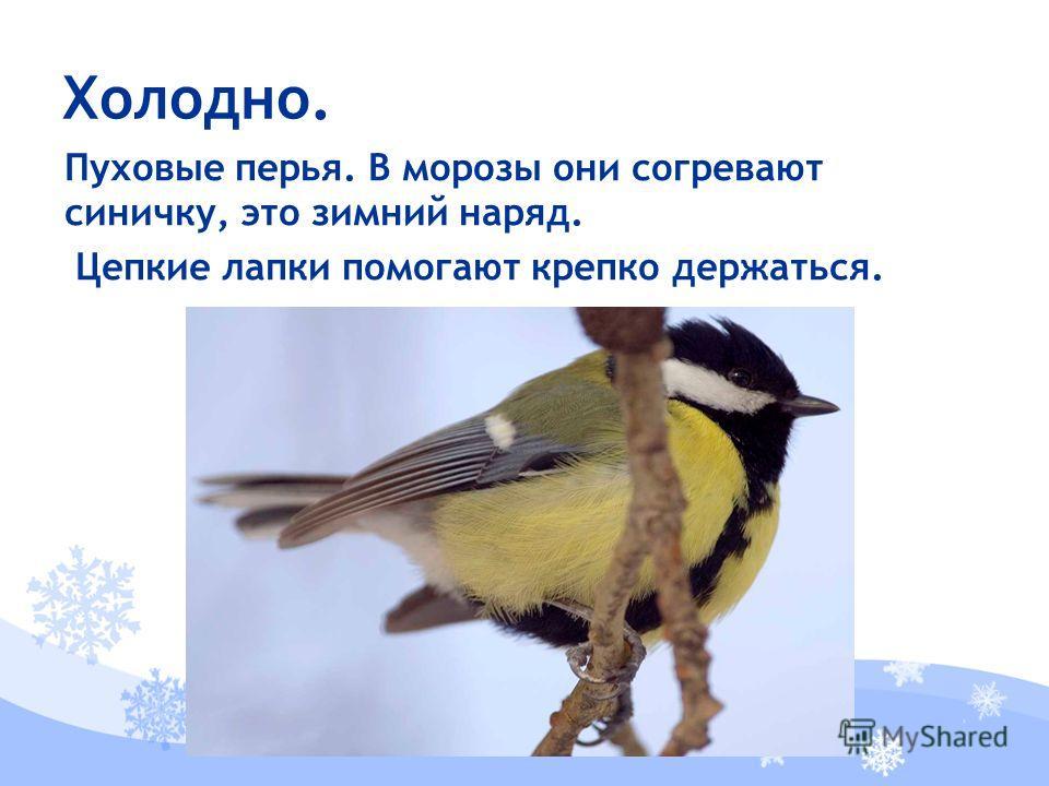 Пуховые перья. В морозы они согревают синичку, это зимний наряд. Цепкие лапки помогают крепко держаться. Холодно.