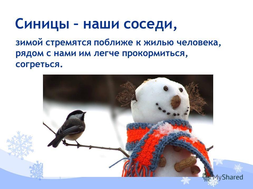 зимой стремятся поближе к жилью человека, рядом с нами им легче прокормиться, согреться. Синицы – наши соседи,
