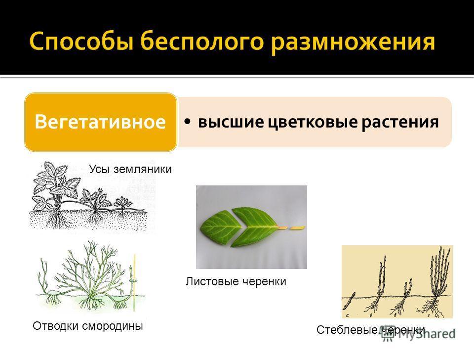 высшие цветковые растения Вегетативное Усы земляники Отводки смородины Листовые черенки Стеблевые черенки