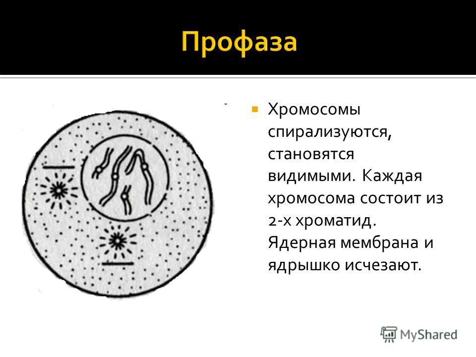 Хромосомы спирализуются, становятся видимыми. Каждая хромосома состоит из 2-х хроматид. Ядерная мембрана и ядрышко исчезают.