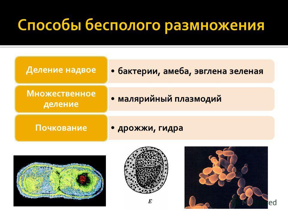 бактерии, амеба, эвглена зеленая Деление надвое малярийный плазмодий Множественное деление дрожжи, гидра Почкование