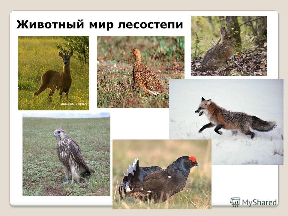 Животный мир лесостепи