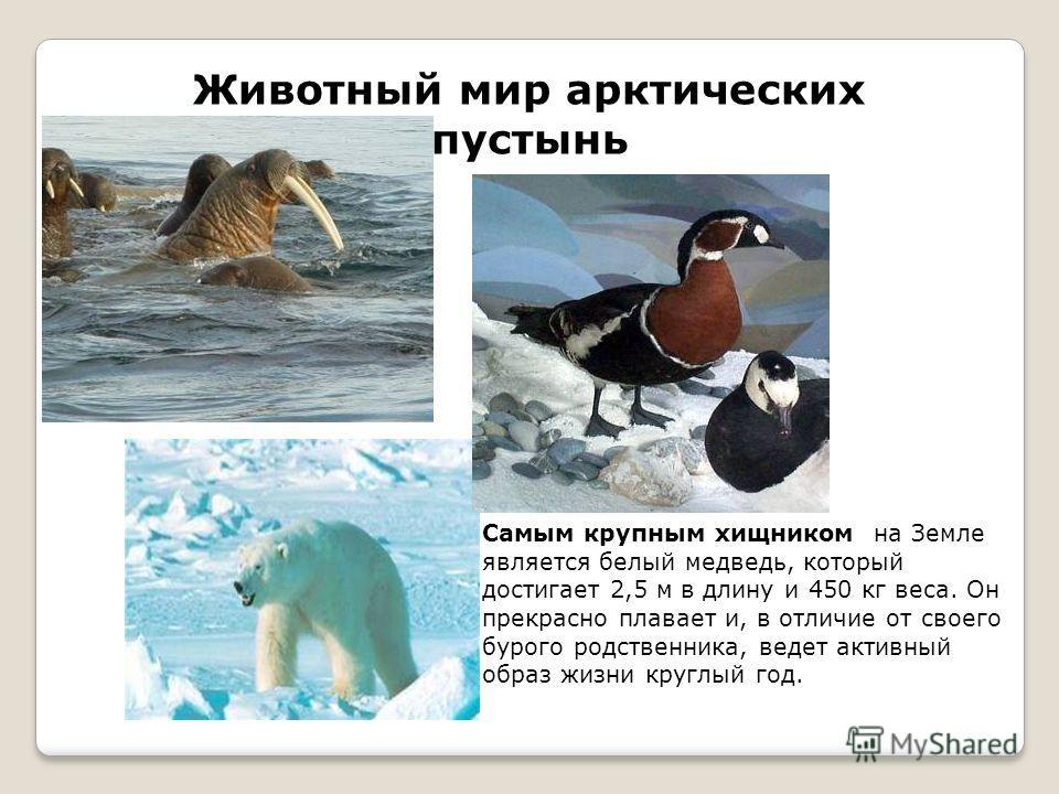 Животный мир арктических пустынь Самым крупным хищником на Земле является белый медведь, который достигает 2,5 м в длину и 450 кг веса. Он прекрасно плавает и, в отличие от своего бурого родственника, ведет активный образ жизни круглый год.
