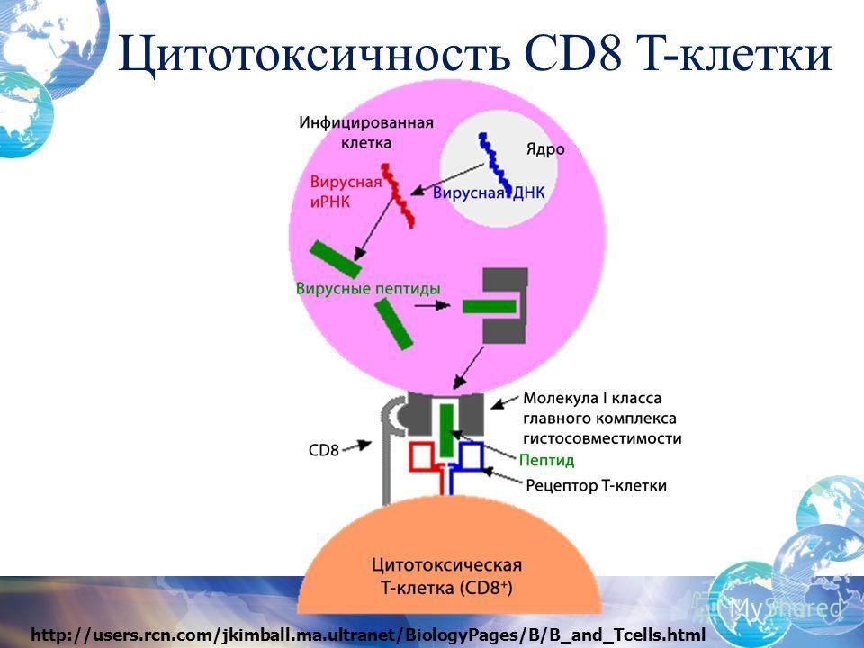 Цитотоксичность CD8 T-клетки http://users.rcn.com/jkimball.ma.ultranet/BiologyPages/B/B_and_Tcells.html