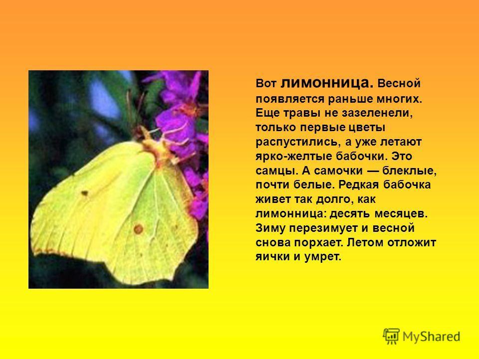 Вот лимонница. Весной появляется раньше многих. Еще травы не зазеленели, только первые цветы распустились, а уже летают ярко-желтые бабочки. Это самцы. А самочки блеклые, почти белые. Редкая бабочка живет так долго, как лимонница: десять месяцев. Зим