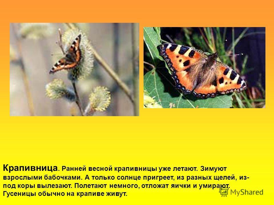 Крапивница. Ранней весной крапивницы уже летают. Зимуют взрослыми бабочками. А только солнце пригреет, из разных щелей, из- под коры вылезают. Полетают немного, отложат яички и умирают. Гусеницы обычно на крапиве живут.