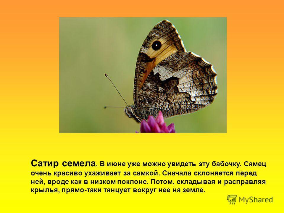 Сатир семела. В июне уже можно увидеть эту бабочку. Самец очень красиво ухаживает за самкой. Сначала склоняется перед ней, вроде как в низком поклоне. Потом, складывая и расправляя крылья, прямо-таки танцует вокруг нее на земле.