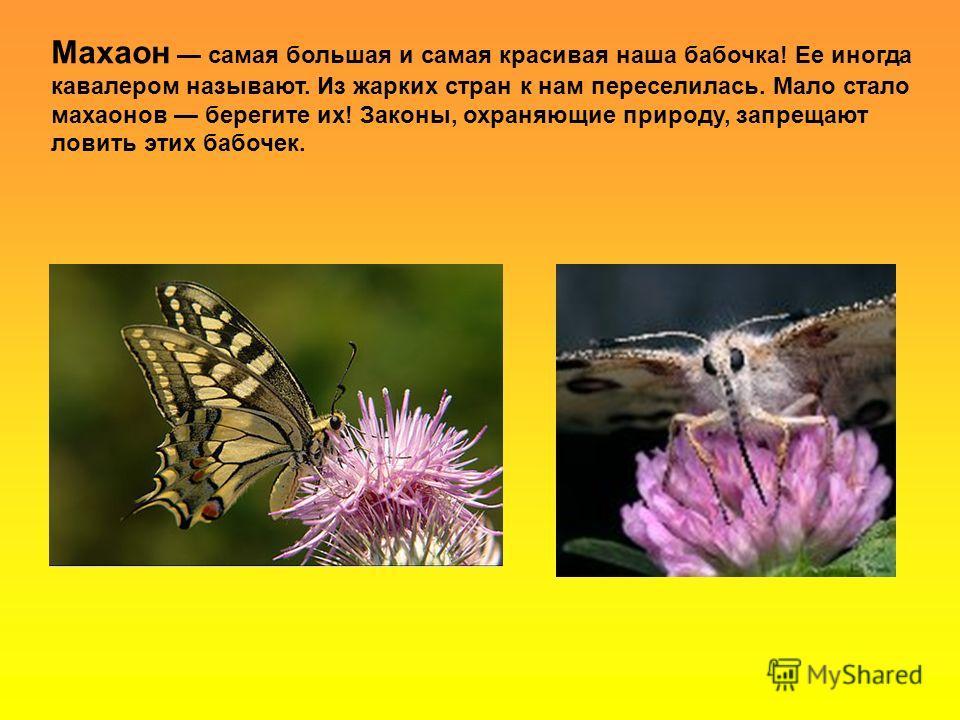 Махаон самая большая и самая красивая наша бабочка! Ее иногда кавалером называют. Из жарких стран к нам переселилась. Мало стало махаонов берегите их! Законы, охраняющие природу, запрещают ловить этих бабочек.