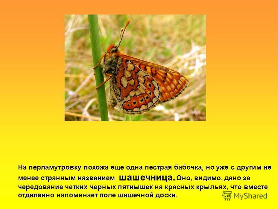 На перламутровку похожа еще одна пестрая бабочка, но уже с другим не менее странным названием шашечница. Оно, видимо, дано за чередование четких черных пятнышек на красных крыльях, что вместе отдаленно напоминает поле шашечной доски.