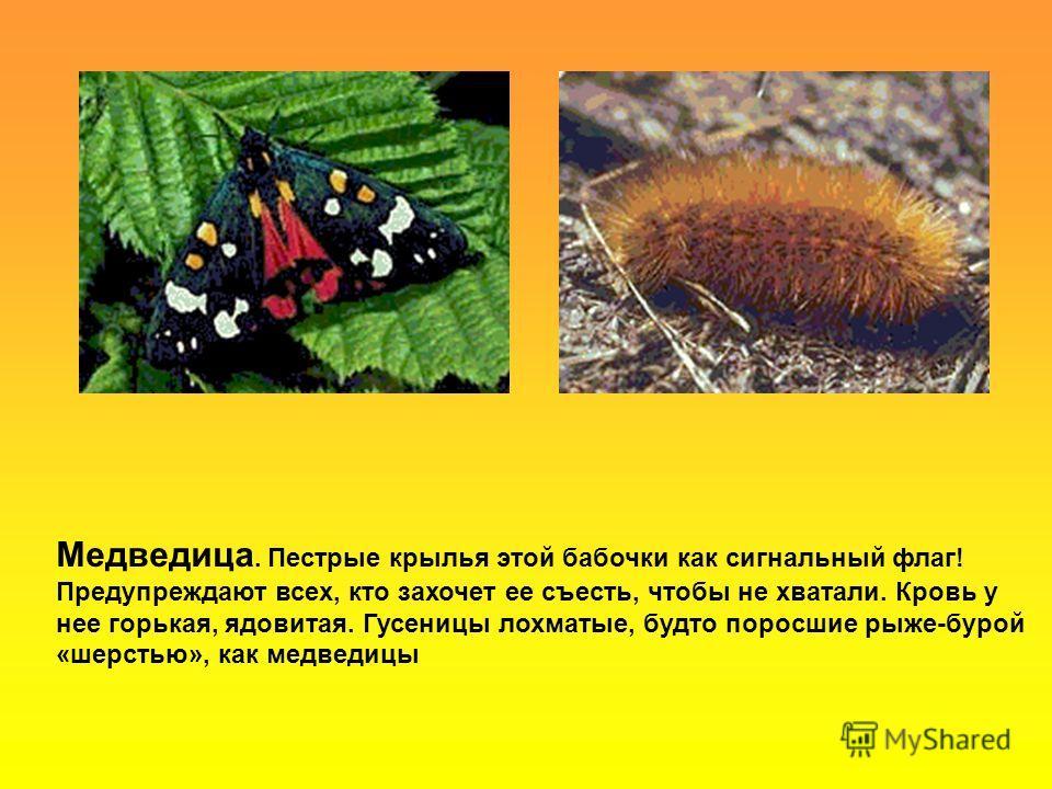 Медведица. Пестрые крылья этой бабочки как сигнальный флаг! Предупреждают всех, кто захочет ее съесть, чтобы не хватали. Кровь у нее горькая, ядовитая. Гусеницы лохматые, будто поросшие рыже-бурой «шерстью», как медведицы