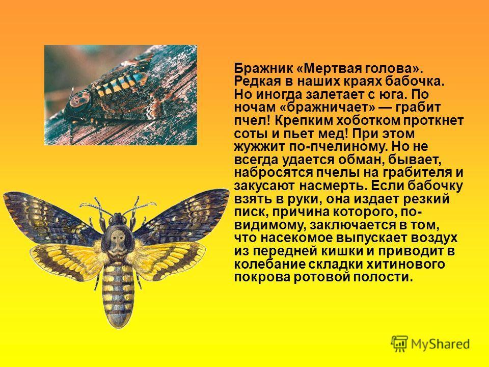 Бражник «Мертвая голова». Редкая в наших краях бабочка. Но иногда залетает с юга. По ночам «бражничает» грабит пчел! Крепким хоботком проткнет соты и пьет мед! При этом жужжит по-пчелиному. Но не всегда удается обман, бывает, набросятся пчелы на граб