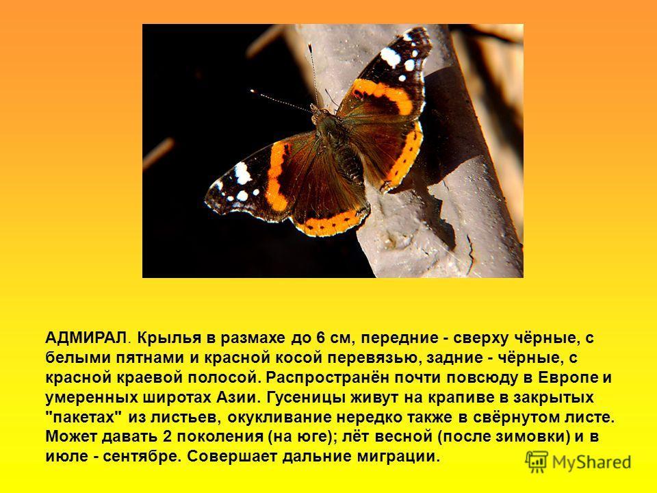 АДМИРАЛ. Крылья в размахе до 6 см, передние - сверху чёрные, с белыми пятнами и красной косой перевязью, задние - чёрные, с красной краевой полосой. Распространён почти повсюду в Европе и умеренных широтах Азии. Гусеницы живут на крапиве в закрытых