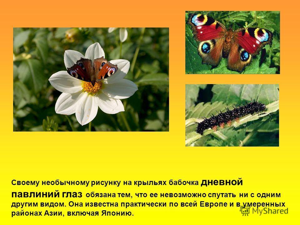 Своему необычному рисунку на крыльях бабочка дневной павлиний глаз обязана тем, что ее невозможно спутать ни с одним другим видом. Она известна практически по всей Европе и в умеренных районах Азии, включая Японию.