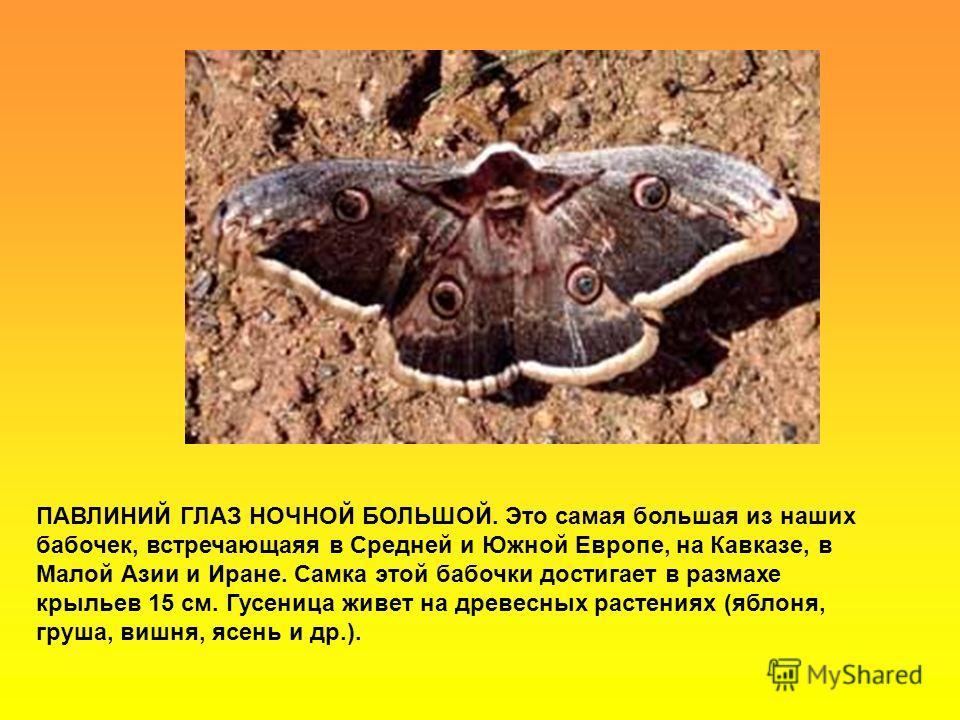 ПАВЛИНИЙ ГЛАЗ НОЧНОЙ БОЛЬШОЙ. Это самая большая из наших бабочек, встречающаяя в Средней и Южной Европе, на Кавказе, в Малой Азии и Иране. Самка этой бабочки достигает в размахе крыльев 15 см. Гусеница живет на древесных растениях (яблоня, груша, виш