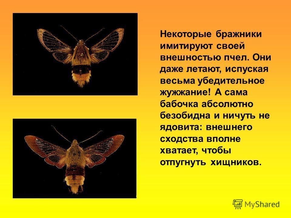 Некоторые бражники имитируют своей внешностью пчел. Они даже летают, испуская весьма убедительное жужжание! А сама бабочка абсолютно безобидна и ничуть не ядовита: внешнего сходства вполне хватает, чтобы отпугнуть хищников.